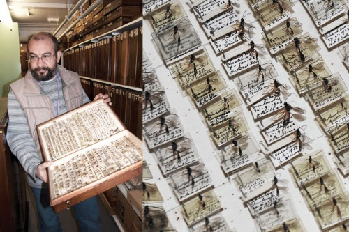 There are hundreds of store-boxes containing thousands of undetermined insects; Dmitri, the curator, is holding a draw of undetermined parasitoid British wasps