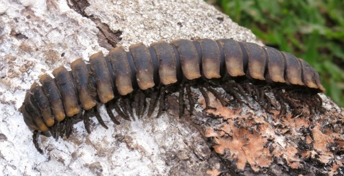 Millipede crawling over a fallen log, Turialtico, Costa Rica.