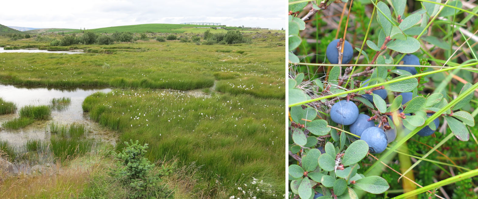 Boggy meadow with cotton grass (left) and the blue berry bush (right) near Lake Urridavatn in Iceland