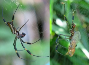 Two females of Nephila clavipes with prey; Costa Rica.