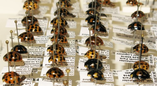 Harelquin_Ladybird_Collection