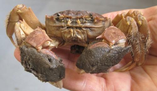 Chinese_Mitten_Crab