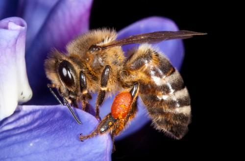 01a_Honey Bee_a