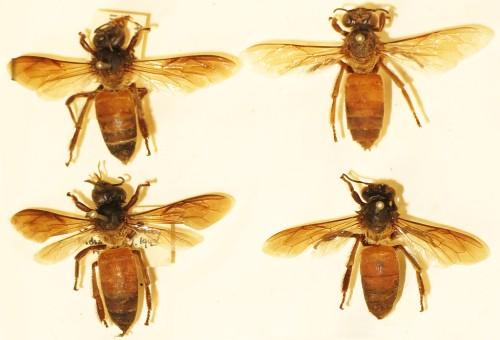 04_Giant Honey Bee